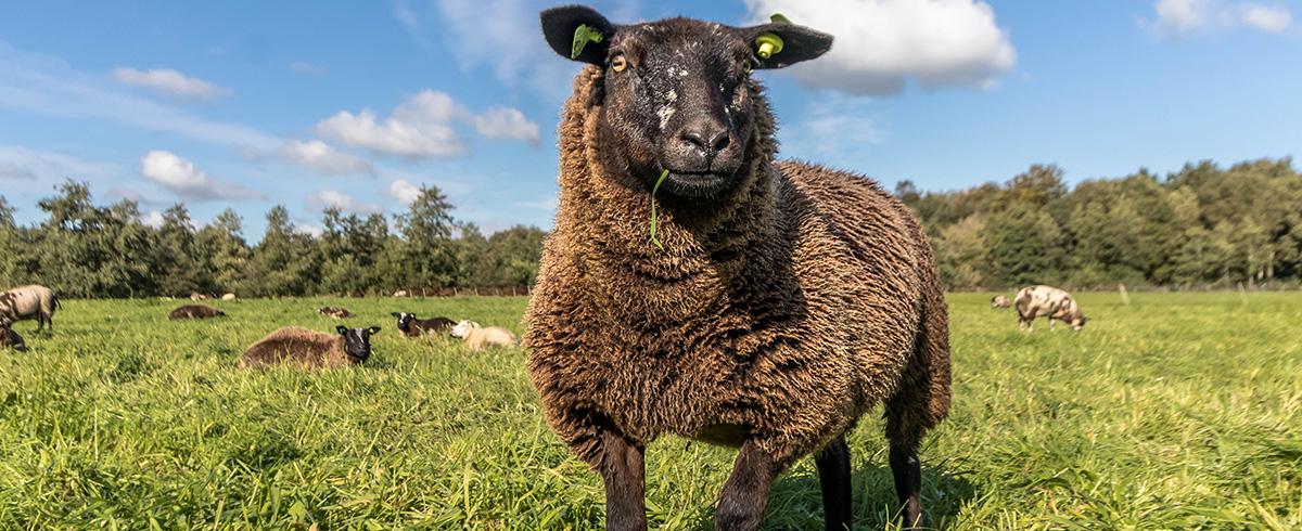 Landgoedboerderij Oosterheerdt - Kudde schapen