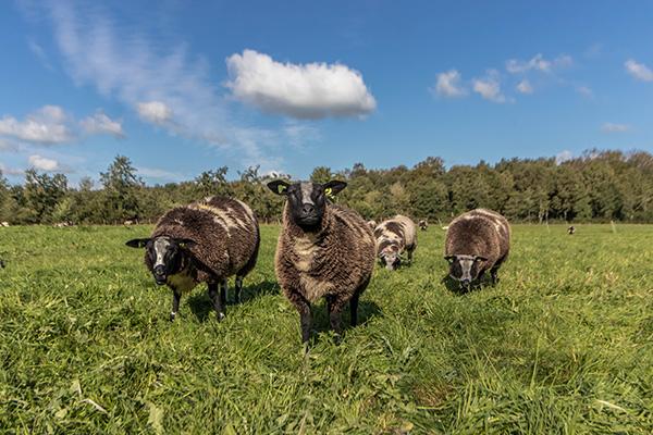 Landgoedboerderij Oosterheerdt - Kudde